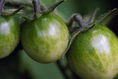 Green Tomatoes. Close up picture of green tomatoes on the tomato plant Royalty Free Stock Image