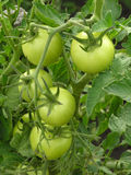 Green tomatoes. Bunch of green tomatoes Stock Image
