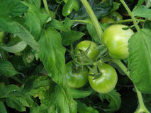 Green Tomatoes Stock Photos