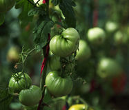 Green tomatoes. Ripen in the greenhouse. Will soon begin harvesting Royalty Free Stock Photos