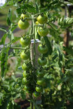 Green Tomatoes. Cherry tomatoes ripening on the vine Stock Photo