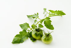 Green tomatoes Stock Photo