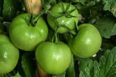 Green tomatoes Stock Images