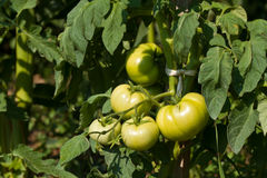 Green tomatoes. These are green tomatoes from the garden of my grandmother Royalty Free Stock Photography