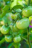 Green tomatoes. From our garden Stock Photography