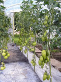 Green tomatoes. Unripe green tomatoes in greenhouse Stock Images