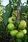 Green tomatoes. Green tomato in the summer Royalty Free Stock Photography