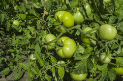 Green tomatoes. Stock Images