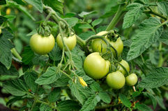 Green tomatoes in beds Stock Image