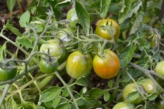 Green tomatoes starting to ripen to red Royalty Free Stock Image