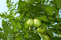 Green tomatoes from below Royalty Free Stock Image