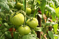 Green tomatoes. On a branch in the garden Stock Image