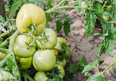 Green tomatoes on a branch. In the garden Stock Images