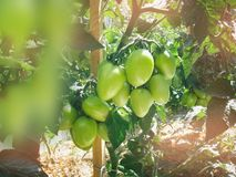 Green tomatoes on a branch in the garden. Close up Royalty Free Stock Image