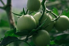 Green tomatoes on a branch stock images