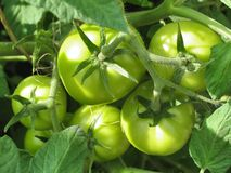 Green tomatoes on branch. Growing tomatoes in garden Royalty Free Stock Photos