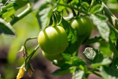 Green tomatoes on a bush in the garden.  royalty free stock photos