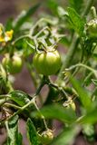 Green tomatoes on a bush in the garden.  royalty free stock image