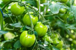 Green tomatoes on bush. Studio Photo royalty free stock image