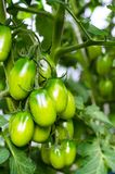 Green tomatoes on bush. Studio Photo royalty free stock photography