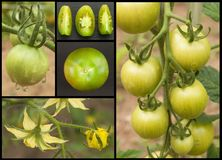 Green tomatoes collage. Agriculture concept. Sales of agricultural crops. Stock Photo