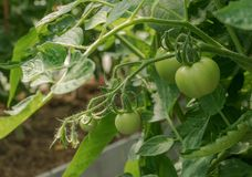 Green tomatoes. The concept of agriculture. Ripening tomatoes in a greenhouse. season of vegetables. stock image