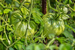 Green tomatoes in the dew Stock Images