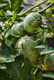 Green tomatoes in the dew Royalty Free Stock Image