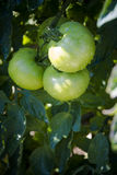 Green tomatoes with dew in early morning sunlight Stock Photography