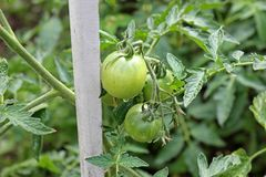 Green tomatoes in the garden.  stock photography