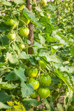 Green tomatoes in garden Stock Photo