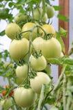 Green Tomatoes in garden Stock Photos