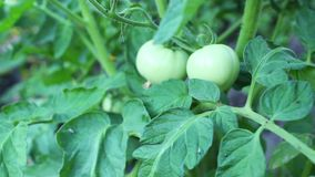 Green tomatoes in the garden stock video footage
