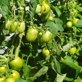 Green tomatoes garden Stock Photo