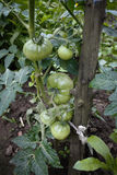 Green tomatoes in a garden, close up Royalty Free Stock Photos