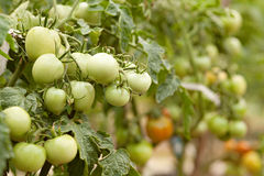 Green Tomatoes in a garden Royalty Free Stock Image