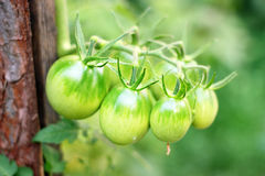 Green tomatoes in the garden Stock Images