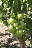 Green tomatoes in the garden. Green leaf royalty free stock photos