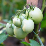 Green tomatoes in the garden Royalty Free Stock Photos