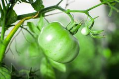 Tomatoes on a branch 5. Green tomatoes on a green branch in garden royalty free stock photography