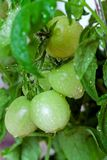 Green tomatoes in greenhouse Stock Photos