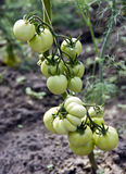 Green tomatoes in greenhouse Royalty Free Stock Photos