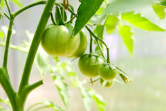 Green tomatoes in a greenhouse Royalty Free Stock Image