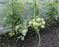 Green tomatoes in a greenhouse Stock Photo