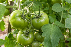 Green tomatoes grow in the garden. Growing tomatoes in a greenhouse Royalty Free Stock Photography
