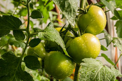 Green tomatoes grow in the garden. Growing tomatoes in a greenhouse Royalty Free Stock Images