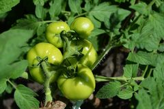Green tomatoes grow in garden. Top view on bunch of tomatoes stock photography
