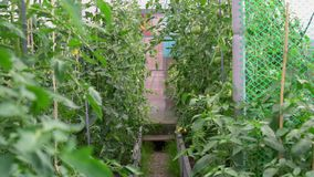 Green tomatoes grow in the greenhouse. Handheld video stock video footage
