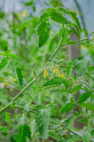 Green tomatoes grow and mature the farm Royalty Free Stock Photo