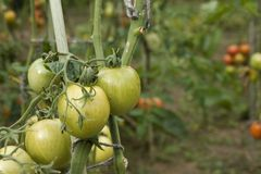 Green tomatoes grow on twigs. Growing vegetables Stock Photos
